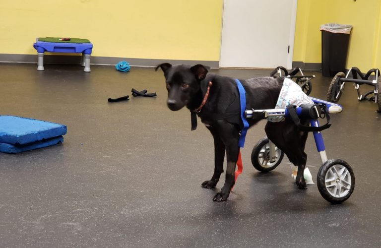 Spinal cord injuries – a dog named Gil